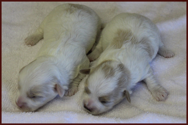 female maltipoo puppies