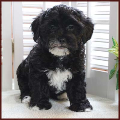 Daisy Dog Puppies
