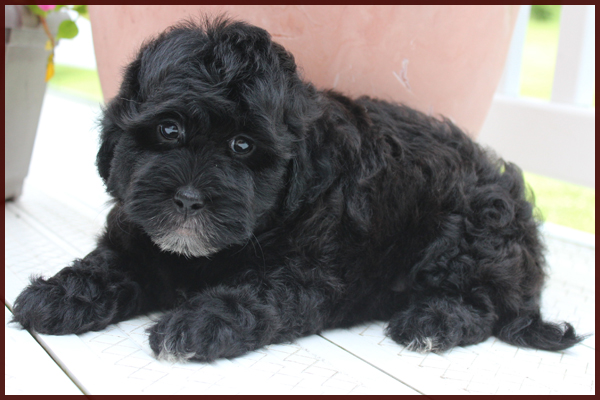 black daisy dog puppy for sale
