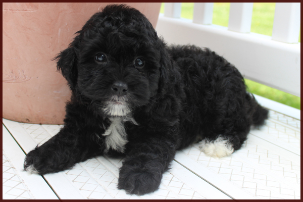 black and white parti poodle mix