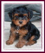 Yorkipoo Puppy - Rolling Meadows Puppies