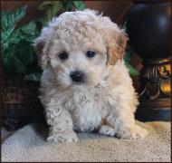 bichon poodle mix puppy