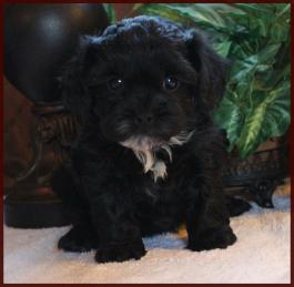daisy dog puppies for sale