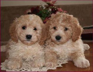 Bichon Poodles Sam and Riley