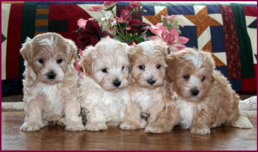 maltipoo puppies in Iowa