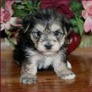 morkie picture