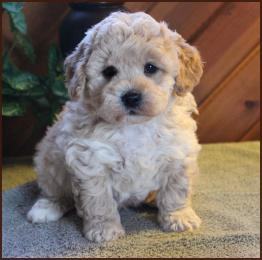 bichon toy poodle mix