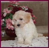 Maltipoo Puppy from Rolling Meadows Puppies